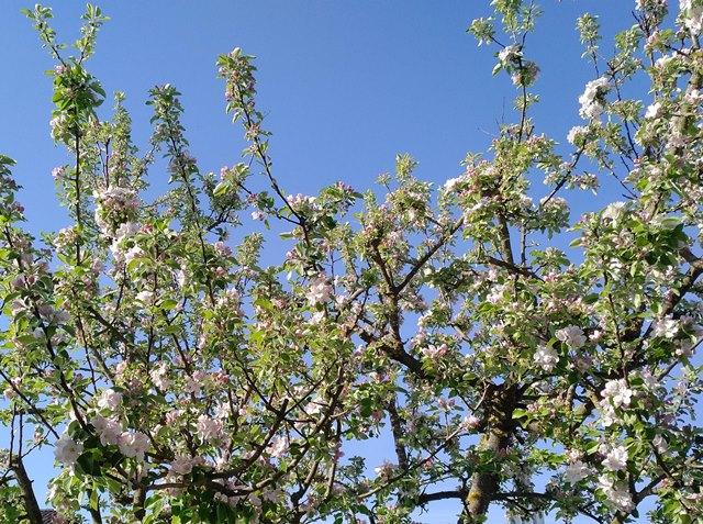 Apfelblühte: Bienen - Honig - Äpfel.